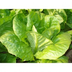 Semillas de lechuga Romana Larga Verde